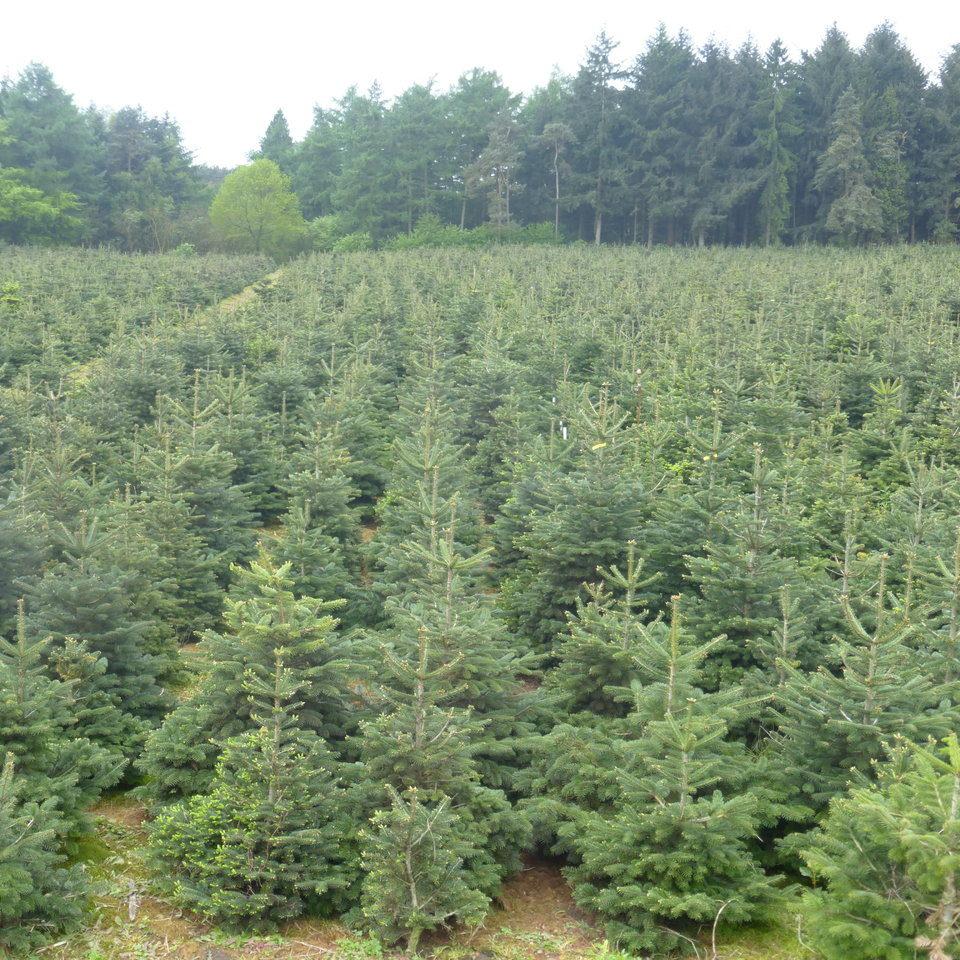 Weihnachtsbäume / Schnittgrün