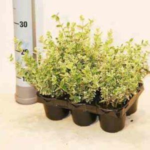 6 Stück Bodendecker Eunonymus fortunei Emerald Gaity 10-15 cm