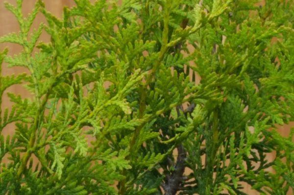 Tannenbaumblätter