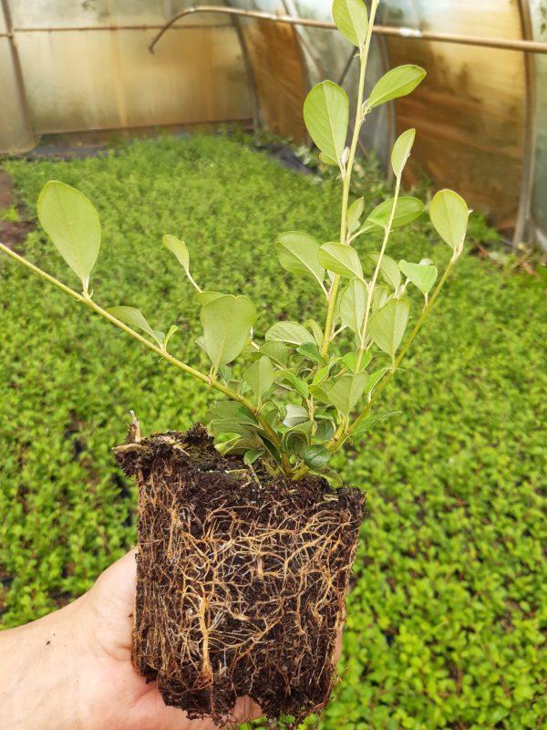 Jungpflanzen mit Wurzel in Hand