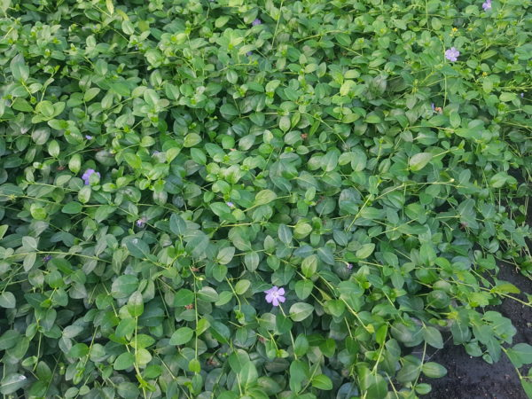 Gebüsch mit lila Blüten