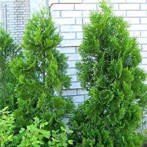 Zwei Jungpflanzen im Garten vor Haus