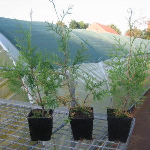 Jungpflanzen in Vasen draußen vor Gewächshaus