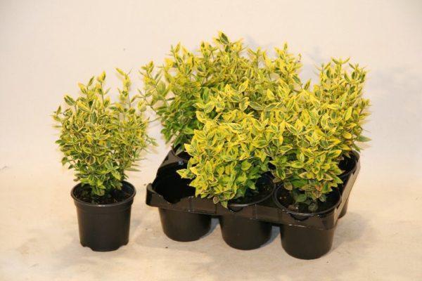 Jungpflanzen in Vasen klein