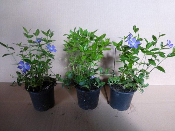 Jungpflanzen in Vasen mit Veilchen