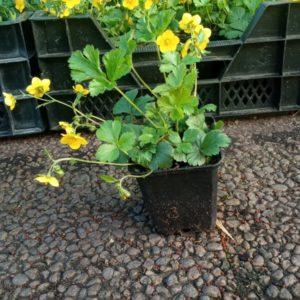 Jungpflanzenblüten in Vasen