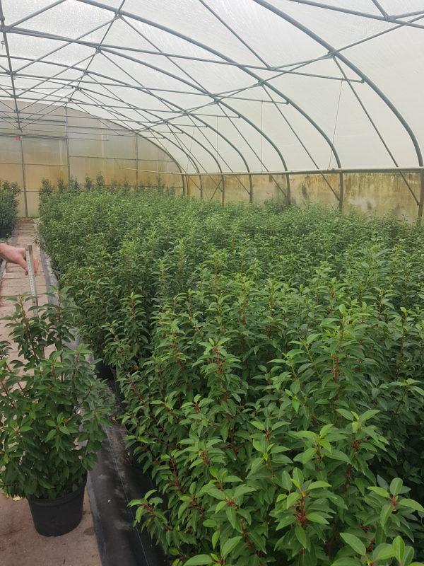 Jungpflanzen in Vasen im Gewächshaus