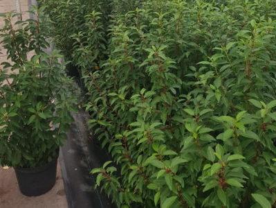 Prunus / Portugiesische Lorbeerkirsche