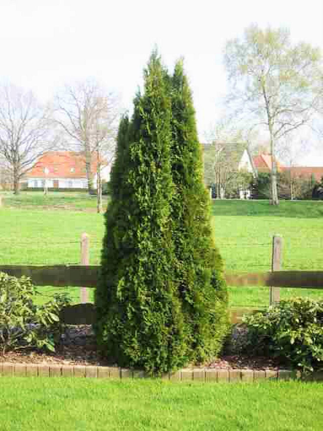 Thuja / Lebensbaum