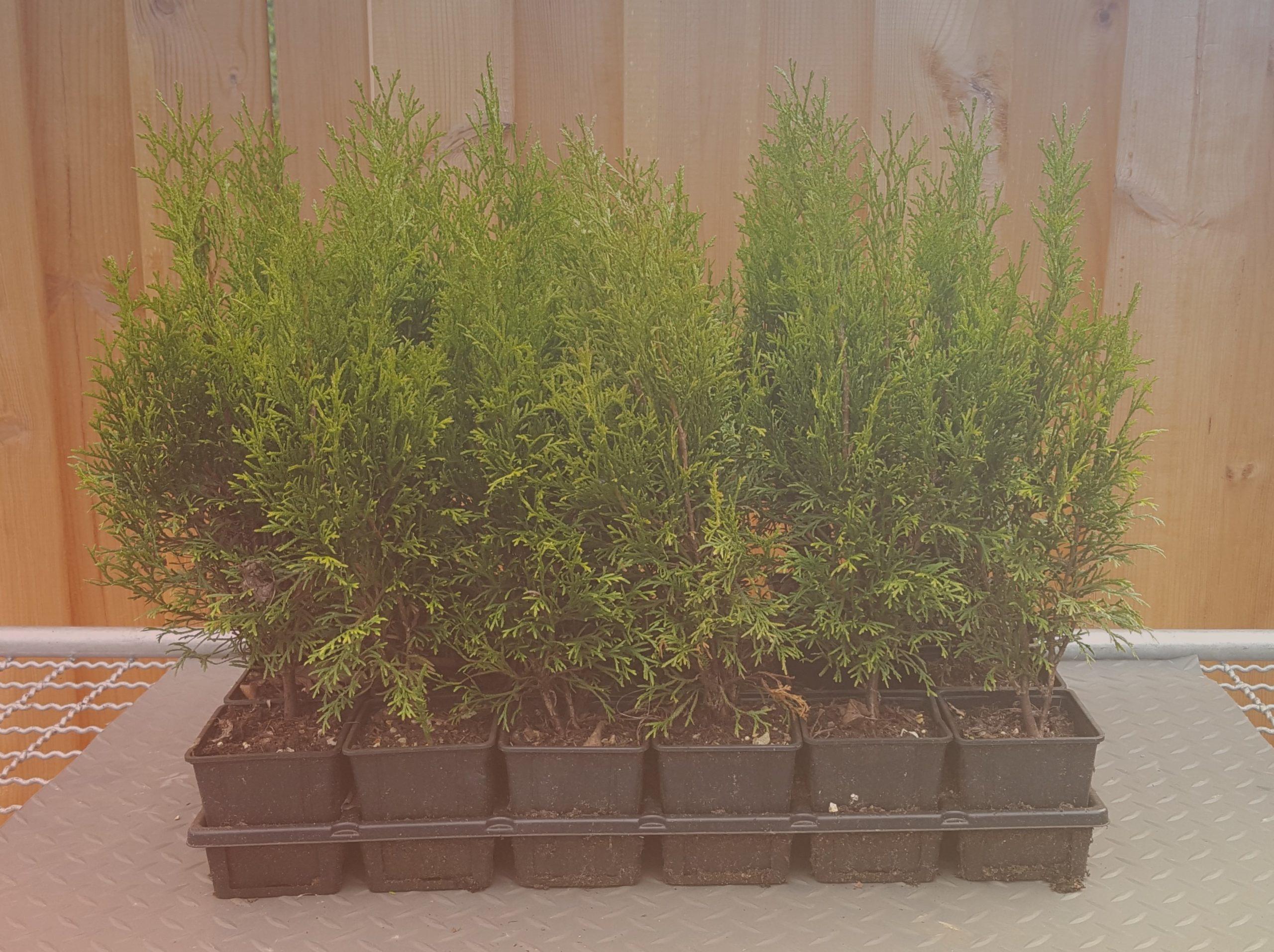 Thuja/Lebensbaum - Smaragd