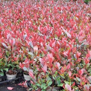 Rote Jungpflanzen in Vasen
